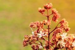Fiore di Clerodendrum 4 Immagini Stock