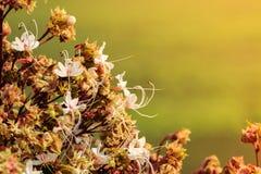 Fiore di Clerodendrum 5 Immagini Stock Libere da Diritti
