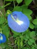 Fiore di clitoria ternatea carta da parati del fondo della natura, Immagini Stock Libere da Diritti