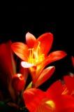 Fiore di Clivia Miniata Fotografia Stock Libera da Diritti