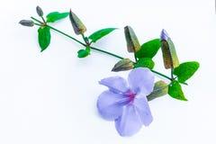 Fiore di clockvine dell'alloro Fotografia Stock