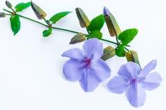 Fiore di clockvine dell'alloro Fotografia Stock Libera da Diritti