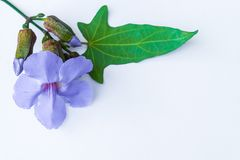 Fiore di clockvine dell'alloro Immagini Stock
