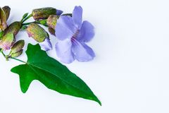 Fiore di clockvine dell'alloro Immagini Stock Libere da Diritti