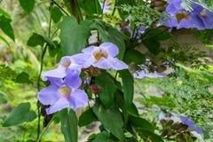 Fiore di clockvine dell'alloro Immagine Stock Libera da Diritti