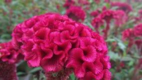 Fiore di Cockcomb Fotografia Stock