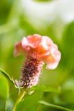Fiore di Cockscomb Fotografie Stock Libere da Diritti