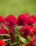 Fiore di Cockscomb Fotografie Stock