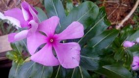 Fiore di colore di Rosa Fotografia Stock
