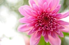 Fiore di colore rosa selvaggio al suo fiore pieno immagine stock libera da diritti