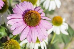 Fiore di Coneflower dell'echinacea Fotografia Stock Libera da Diritti