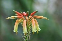 Fiore di cooperi dell'aloe Fotografie Stock