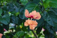 Fiore di Coral Hibiscus o di hibiscus schizopetalus Immagine Stock