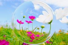 Fiore di Cosmea nell'effetto della palla di vetro con il fondo vago del cielo blu e del giardino Fotografia Stock Libera da Diritti