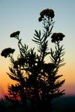 fiore di crepuscolo Fotografia Stock