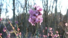 Fiore di Daphne Fotografie Stock