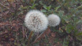 Fiore di Dendelion Immagini Stock