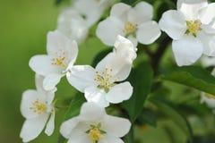 Fiore di di melo Fotografia Stock