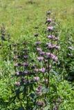 Fiore di dissoluzione nel prato, Altai, Russia di Borgogna fotografia stock
