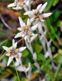 Fiore di Edelweiss Immagini Stock Libere da Diritti