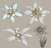 Fiore di Edelweiss royalty illustrazione gratis