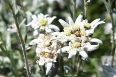 Fiore di Edelweiss. Primo piano Fotografia Stock