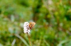 Fiore di elliptica di Bistorta con la farfalla Repubblica di Altai, Siberia La Russia Fotografia Stock