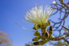 Fiore di ellipticum dello Pseudobombax Fotografia Stock