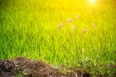 Fiore di erba e del giacimento verde del riso Fotografia Stock