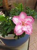 Fiore di ericaceae del rododendro fotografie stock libere da diritti