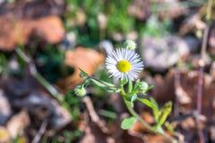 Fiore di erigeron alla luce solare Fotografia Stock