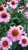 Fiore di estate Fotografia Stock Libera da Diritti
