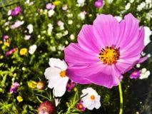 Fiore di estate Fotografie Stock Libere da Diritti