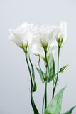 Fiore di eustoma su un fondo grigio Fotografie Stock