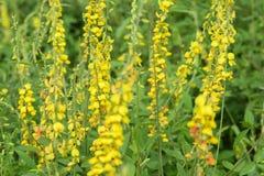 Fiore di fabaceae Fotografie Stock Libere da Diritti