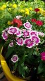 Fiore di farfalla fotografie stock libere da diritti