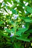 Fiore di farfalla Immagine Stock Libera da Diritti