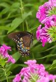 Fiore di farfalla 3 Fotografia Stock