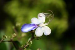 Fiore di farfalla blu Fotografie Stock Libere da Diritti