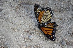 Fiore di farfalle accoppiamento del monarca Fotografia Stock