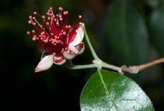 Fiore di Feijoa fotografia stock libera da diritti