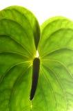 Fiore di fenicottero Fotografia Stock