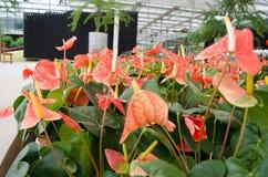 Fiore di fenicottero Fotografie Stock