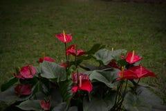 Fiore di fenicottero o anturio rosso della treccia fotografia stock libera da diritti