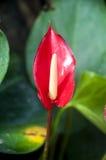 Fiore di fenicottero rosso Fotografia Stock Libera da Diritti