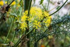Fiore di finocchio Fotografia Stock Libera da Diritti
