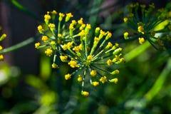 Fiore di finocchio giallo con le gocce di rugiada vicino su fotografia stock libera da diritti