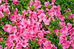 Fiore di fioritura Fotografie Stock Libere da Diritti