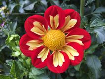 Fiore di fioritura Fotografia Stock