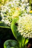 Fiore di fioritura bianco e giallo dell'allium Fotografia Stock Libera da Diritti
